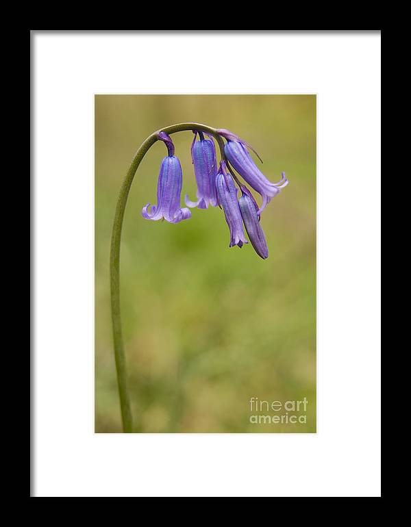 British Bluebell Framed Print featuring the photograph British Bluebell Hyacinthoides Non Scripta by Liz Leyden
