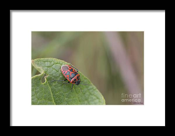 Bulgaria Framed Print featuring the photograph Cabbage Shield Bug by Jivko Nakev