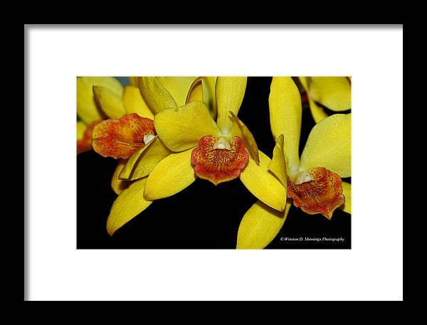 Cattleyas Framed Print featuring the photograph Cattleya Orchid by Winston D Munnings