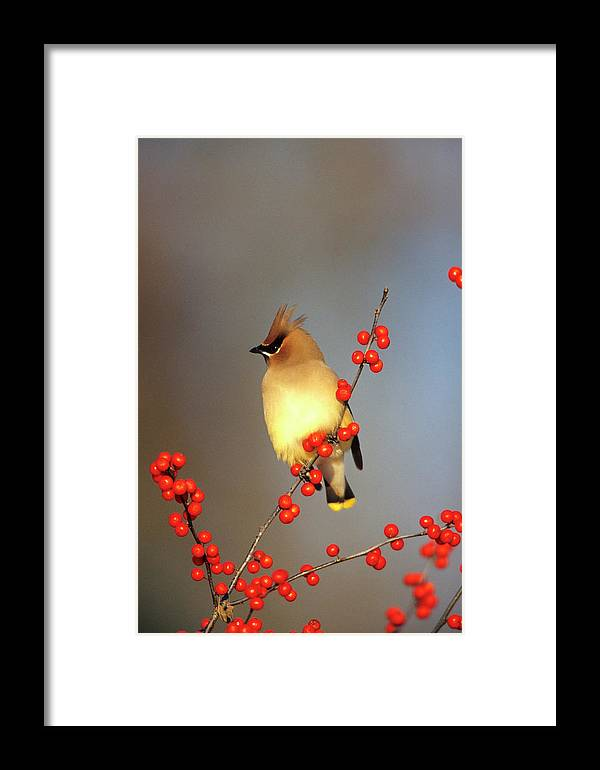 Avian Framed Print featuring the photograph Cedar Waxwing (bombycilla Cedrorum by Richard and Susan Day