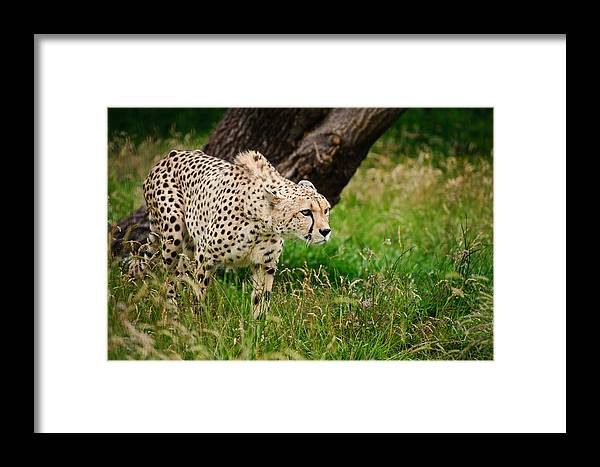 Cat Framed Print featuring the photograph Cheetah Acinonyx Jubatus Big Cat by Matthew Gibson