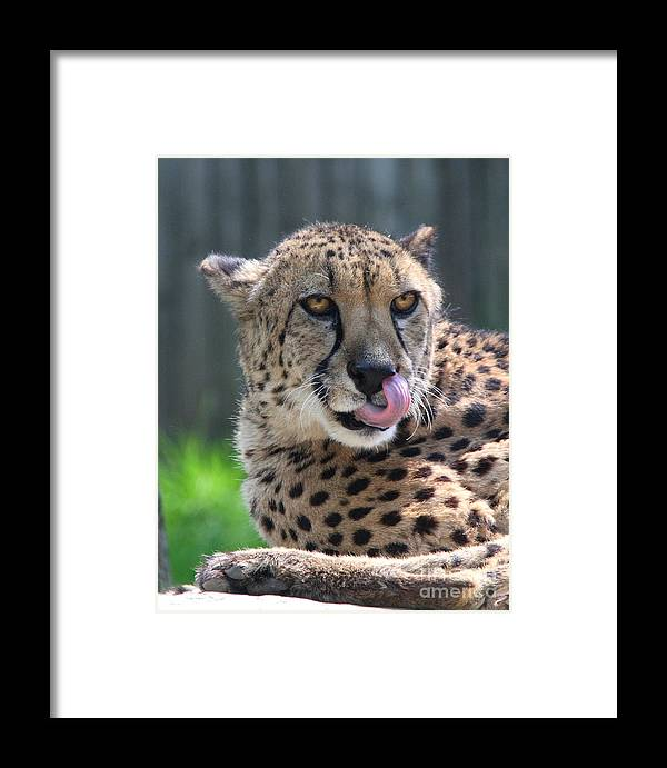 Staring Framed Print featuring the photograph Cheetah by Ken Keener