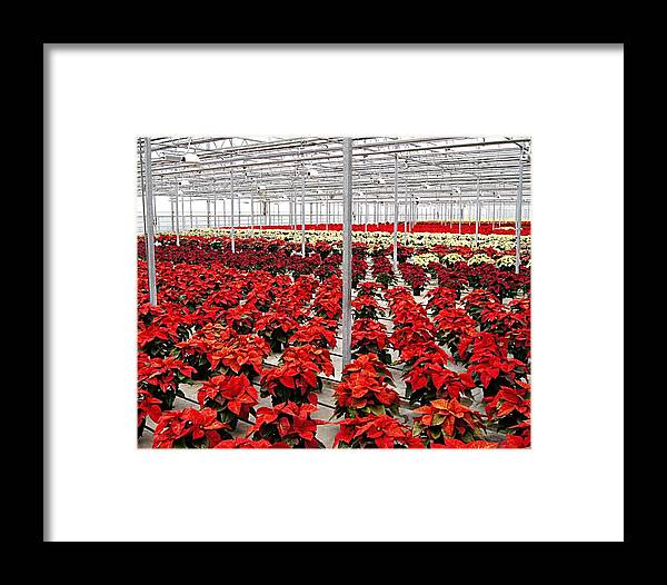 Flowers Framed Print featuring the photograph Christmas Poinsettia's. by Carol Toepke