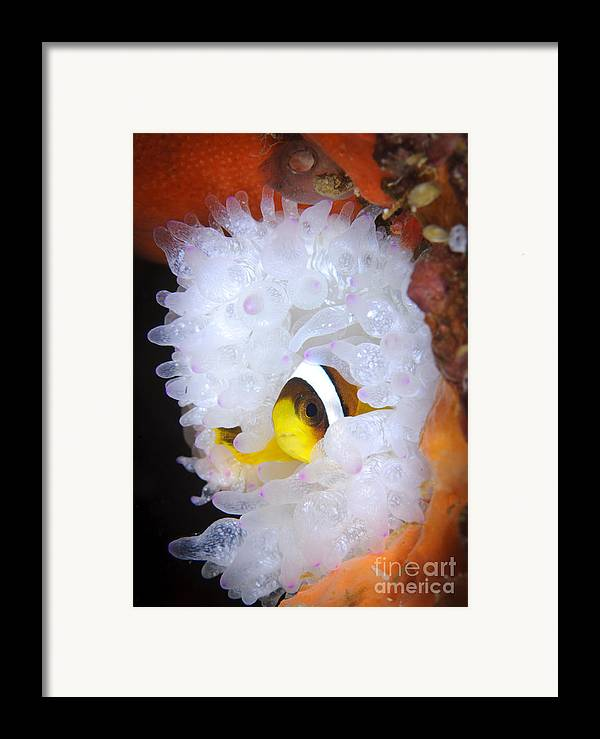 Osteichthyes Framed Print featuring the photograph Clarks Anemonefish In White Anemone by Steve Jones