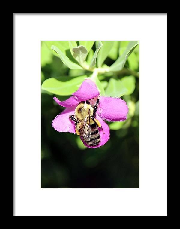 Bumblebee Framed Print featuring the photograph Collecting by Peggy Burley