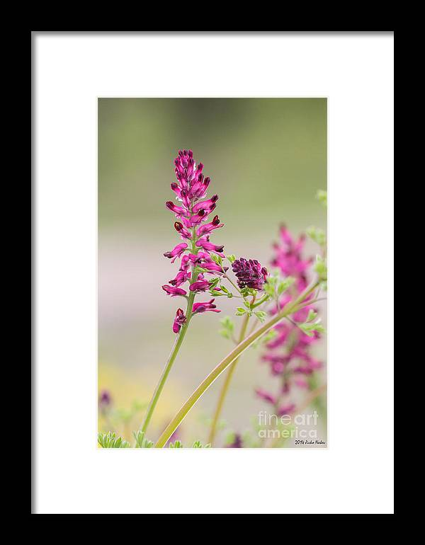 Bulgaria Framed Print featuring the photograph Common Fumitory by Jivko Nakev