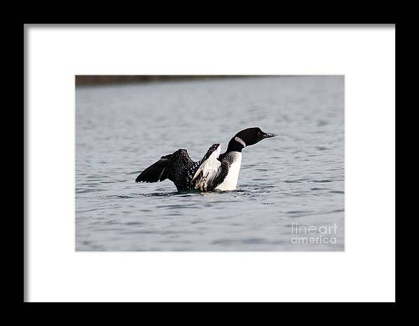 Common Loon Framed Print featuring the photograph Common Loon by Deb Kline