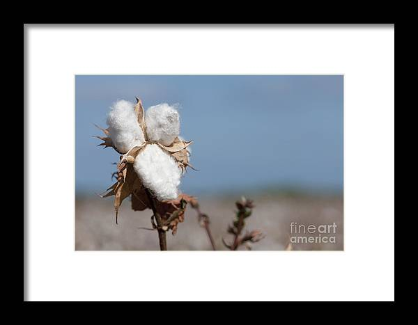 Growth Framed Print featuring the photograph Cotton Bolls by Hagai Nativ