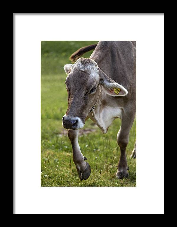 Cow Framed Print featuring the photograph Cow In Heiterwang by Radka Linkova