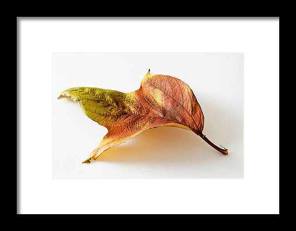 Leaf Framed Print featuring the photograph Cranberry Tree Leaf Isolated On White by Donald Erickson