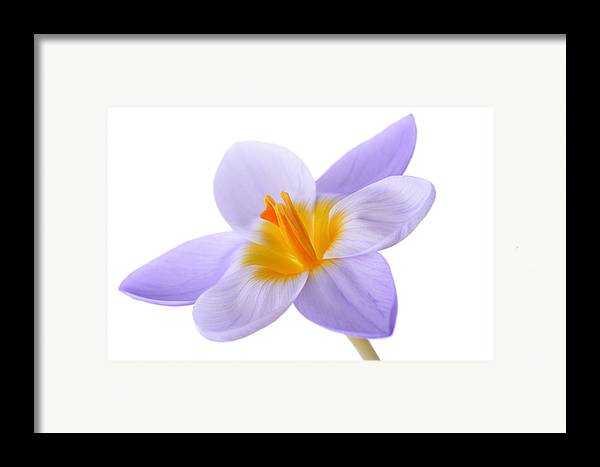 Beautiful Framed Print featuring the photograph Crocus by Mark Johnson