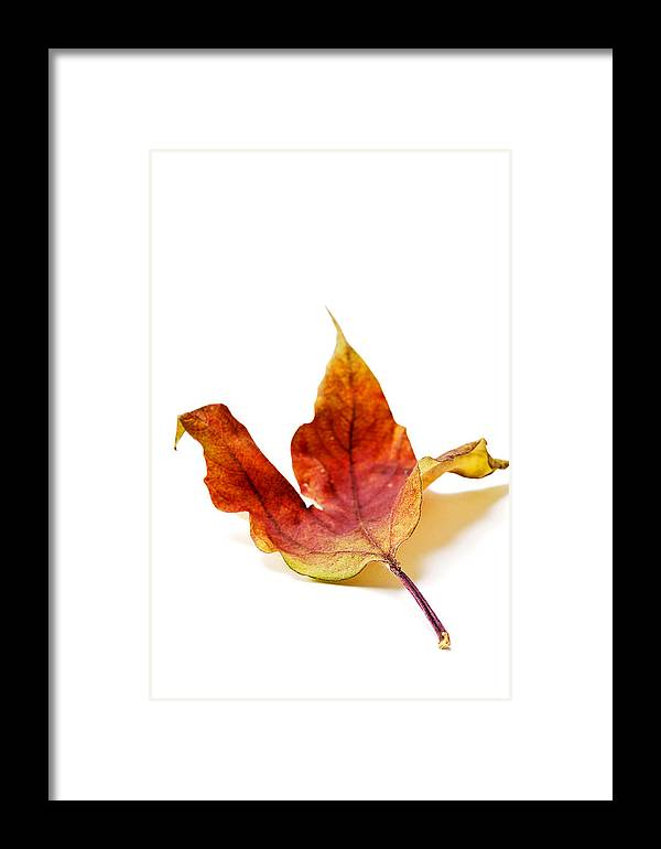 Autumn Framed Print featuring the photograph Curled Autumn Leaf Isolated On White by Donald Erickson