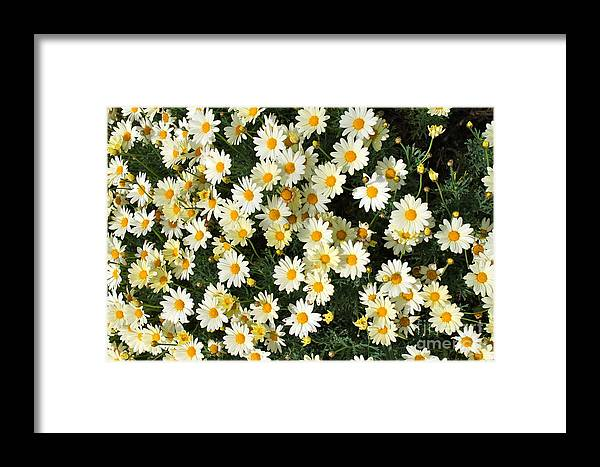 Daisies Framed Print featuring the photograph Daisies by Pamela Walrath