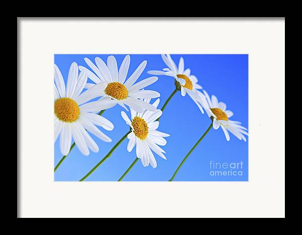 Daisy Framed Print featuring the photograph Daisy Flowers On Blue Background by Elena Elisseeva