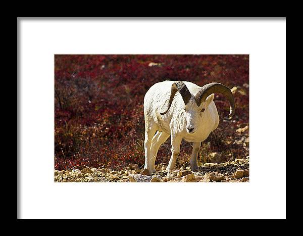 Alaska Framed Print featuring the photograph Dall Sheep by Kyle Lavey