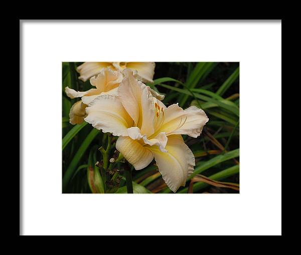 Daylily Framed Print featuring the photograph Daylily Study II by Jean Blackmer