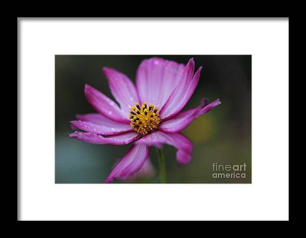 Hew Framed Print featuring the photograph Dew Drops by Yumi Johnson