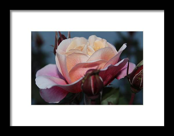 Rose Framed Print featuring the photograph Distant Drum Rose Bloom by Patricia Hiltz