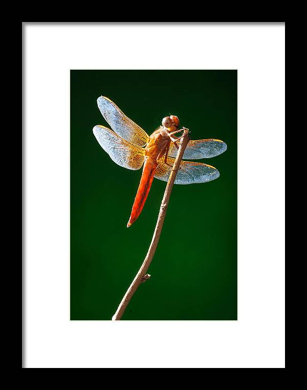 Dragonfly Framed Print featuring the photograph Dragonfly by Dung Ma