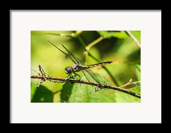 Dragonflies Framed Print featuring the photograph Dragonfly by Steven Taylor
