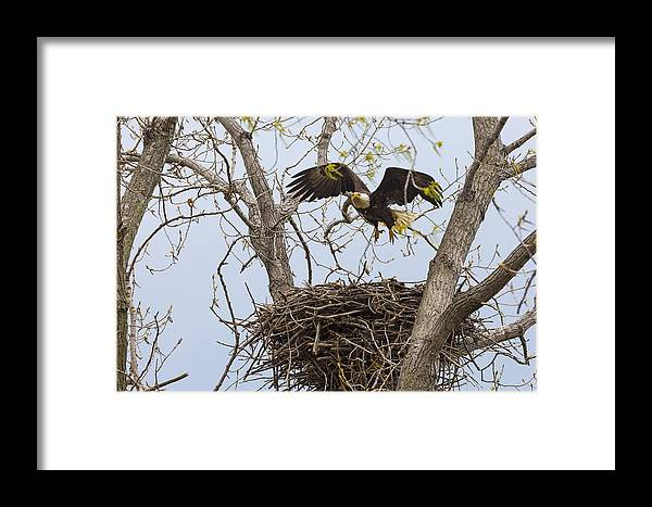 Adult Framed Print featuring the photograph Eagle Nest by Jack R Perry
