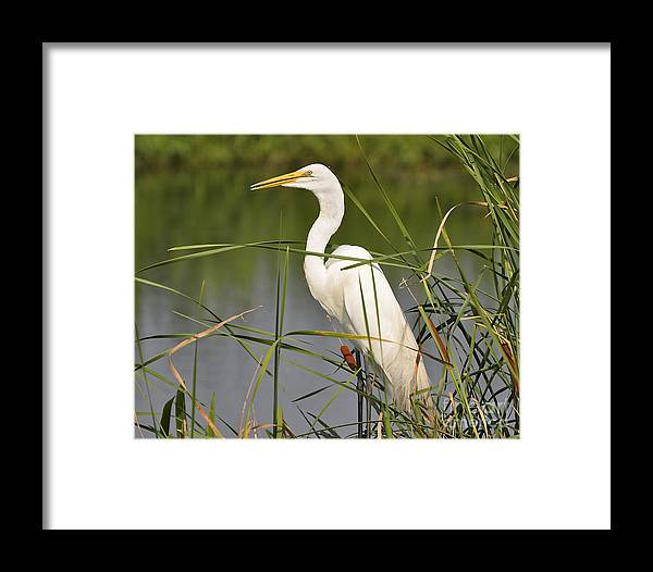 Egret Framed Print featuring the photograph Egret In The Cattails by Al Powell Photography USA