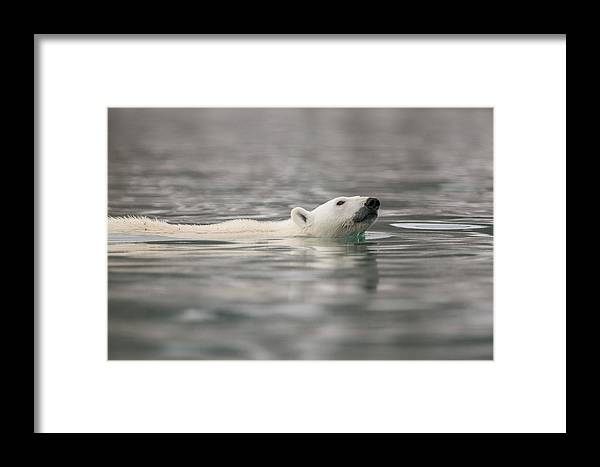 Animal Framed Print featuring the photograph Europe, Norway, Svalbard by Jaynes Gallery