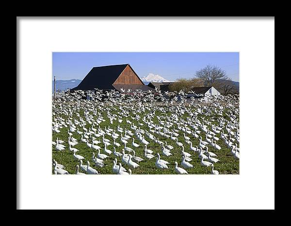Mount Vernon Framed Print featuring the photograph Flocks Of Snow Geese by King Wu