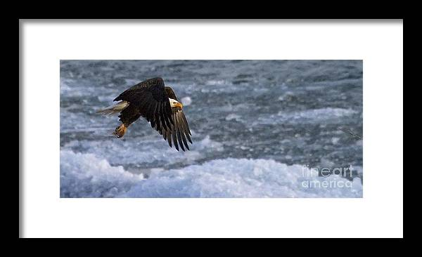 Haliaeetus Leucocephalus Framed Print featuring the photograph Flying Over Ice by J L Woody Wooden