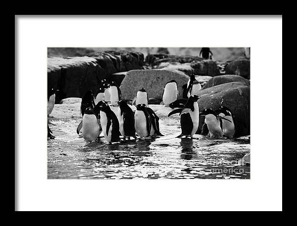 Gentoo Framed Print featuring the photograph Gentoo Penguins On Rocky Shoreline On Port Lockroy Antarctica by Joe Fox