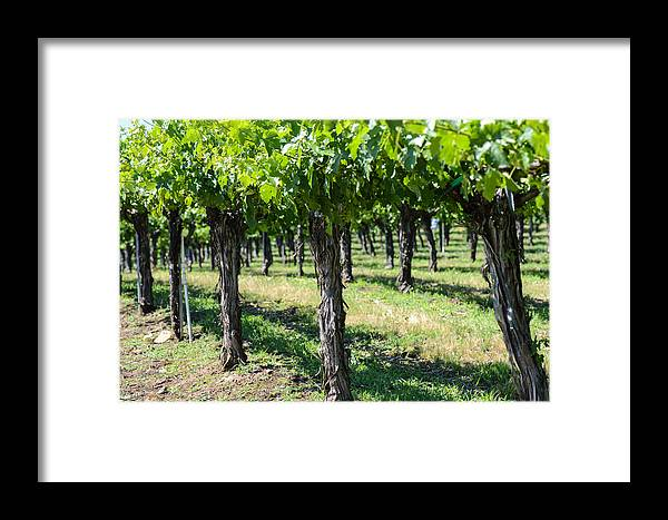Green Framed Print featuring the photograph Grape Vines In A Row by Brandon Bourdages