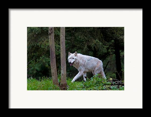 Nature Framed Print featuring the photograph Gray Wolf White Morph by Mark Newman