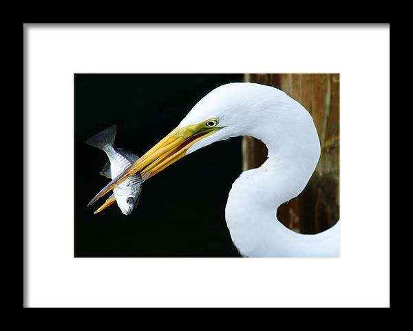 Great White Egret Framed Print featuring the photograph Great Catch by Paulette Thomas