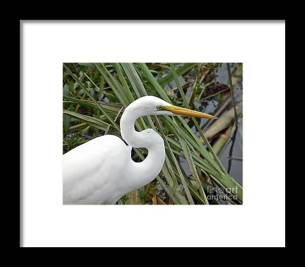 Egret Framed Print featuring the photograph Great Egret Close Up by Al Powell Photography USA