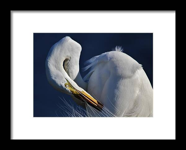 Great White Egret Framed Print featuring the photograph Great White Egret Preening by Paulette Thomas