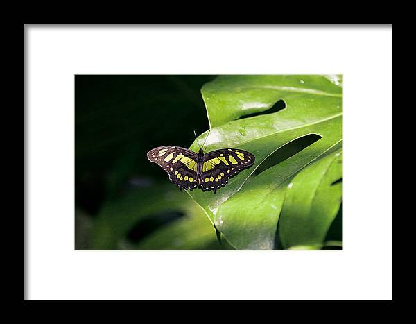 Butterflies Framed Print featuring the photograph Green Butterfly by Maria Angelica Maira