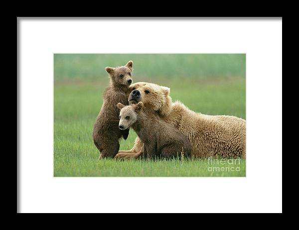 00345263 Framed Print featuring the photograph Grizzly Cubs Play With Mom by Yva Momatiuk John Eastcott