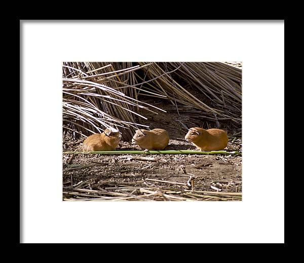 Guinea Pig Framed Print featuring the photograph Guinea Pig Livestock At Lake Titicaca Peru by Jared Bendis