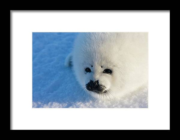 Animal Framed Print featuring the photograph Harp Seal Pup, Close Up, Iles De La by Keren Su