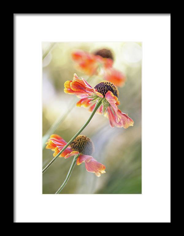 Summer Framed Print featuring the photograph Helenium* by Mandy Disher