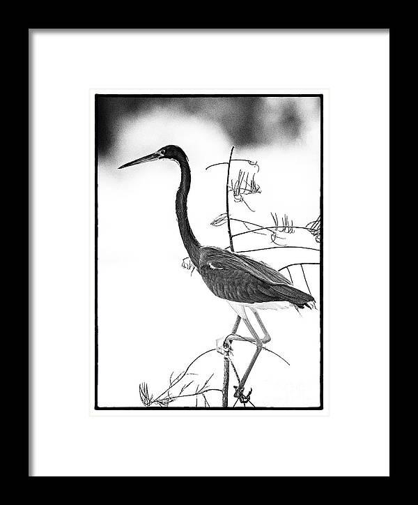 Bird Framed Print featuring the photograph Heron by Bruce Bain