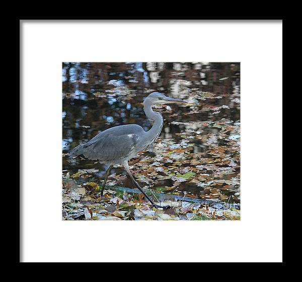 Herons Framed Print featuring the photograph Heron On The River by Four Hands Art