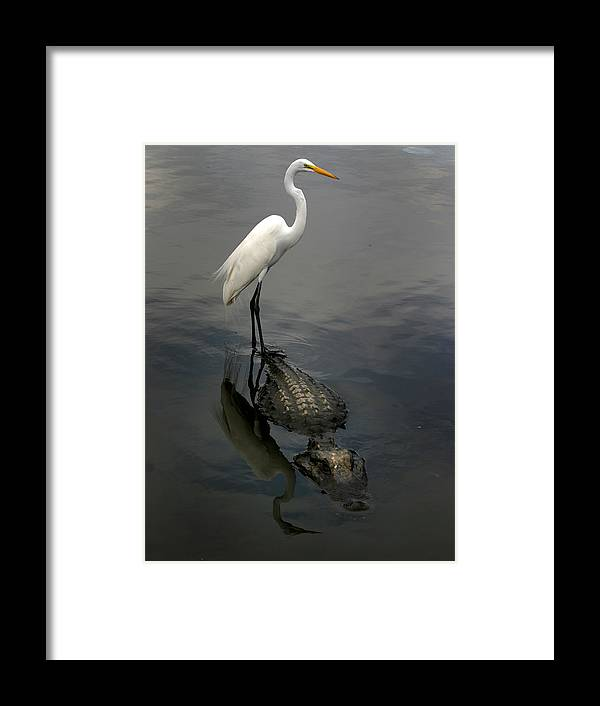 Alligator Framed Print featuring the photograph Hitch Hiker by Anthony Jones