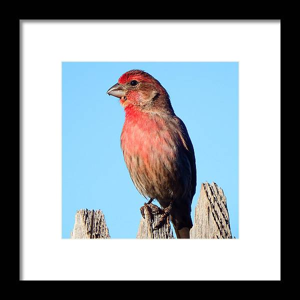House Framed Print featuring the photograph House Finch by David G Paul