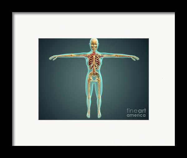Median Nerves Framed Print featuring the digital art Human Body Showing Skeletal System by Stocktrek Images