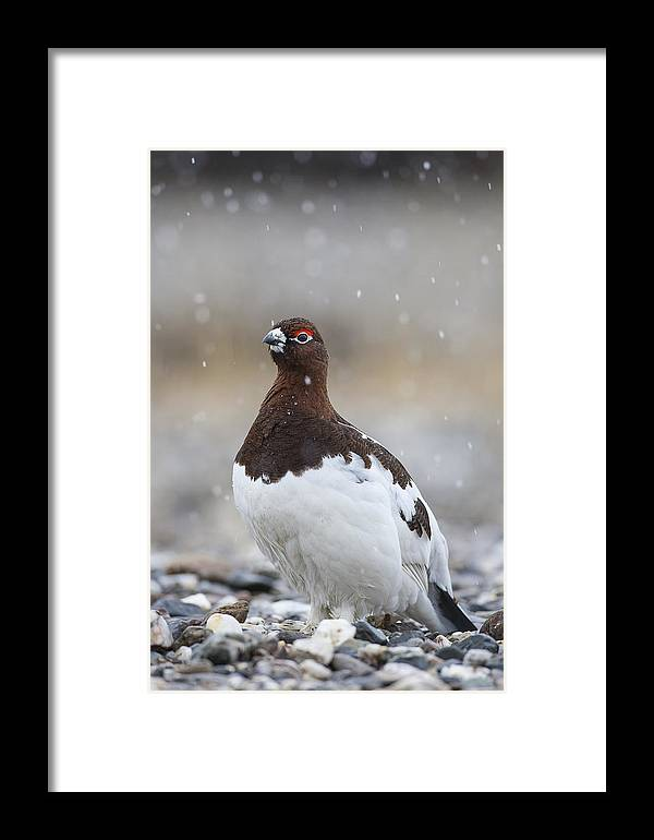 Adult Framed Print featuring the photograph In Falling Snow by Tim Grams