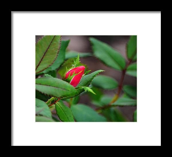 Rose Framed Print featuring the photograph Just A Little Bud by Karen Majkrzak