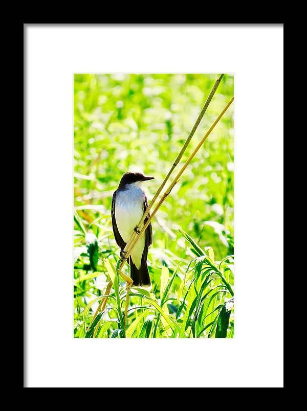Bird Framed Print featuring the photograph Kingbird by Art Dingo