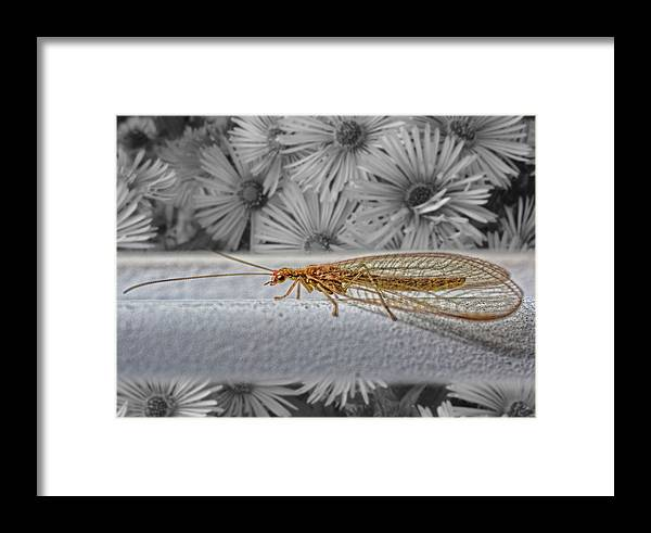 Lacewing Framed Print featuring the photograph Lacewing Helps In The Garden 2 by Henry Kowalski