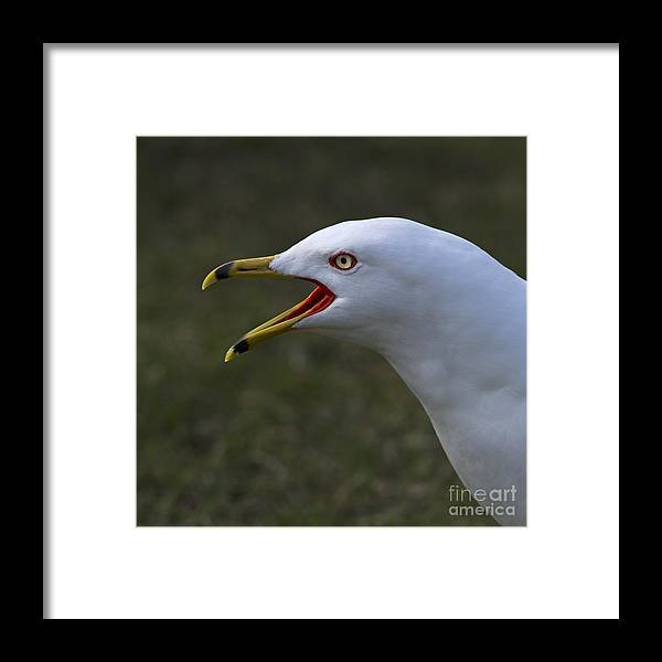 Festblues Framed Print featuring the photograph Larus Delawarensis... by Nina Stavlund